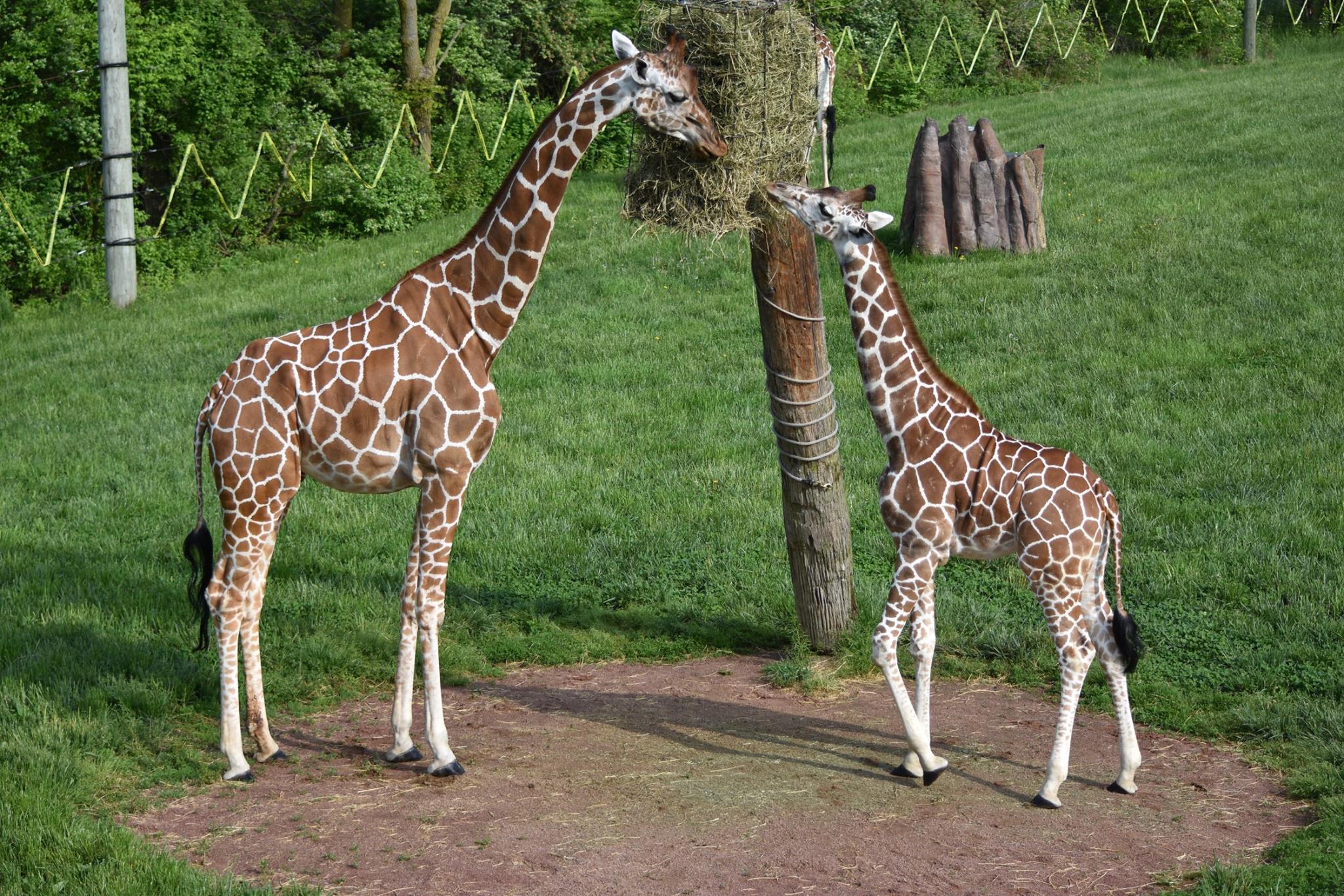 Zahra with her daughter, Kita. (Photo//Fort Wayne Children's Zoo)